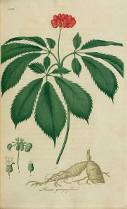 american-acupuncture-herbal-medicine-ginseng